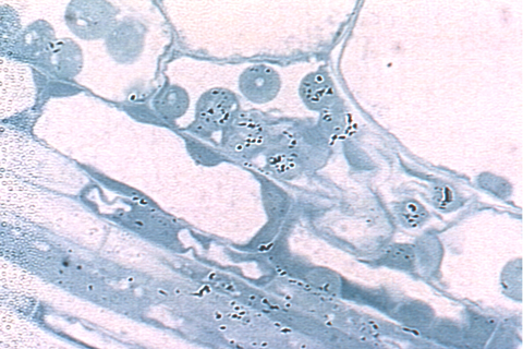 CORN LEAF CELLS (Source: Cocking, Davey and Stone. 2006)